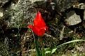 Tulipa agenensis (13)