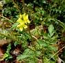 Agrimonia eupatoria  (9)