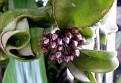Hoya compacta (4)