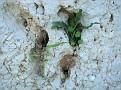 Biarum tenuifolium & Sedum sp (1)