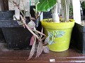 Monadenium montanum (15)