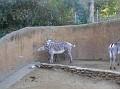 LA Zoo 071