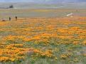 Poppy Reserve2008 005.jpg