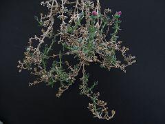 Meyerophyllum meyeri v. meyeri