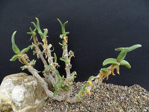 Mitrophyllum clivorum v. nana