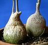 Pyrenacantha malvifolia