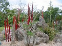 Arid Garden Red and Amber Reeds07