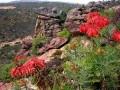 Aloe perfoliata1