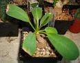 Euphorbia brunellii