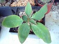 Euphorbia moratii