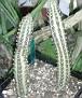 Senecio stapeliaeformis ( Kleinia stapeliformis )