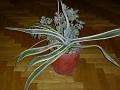 Agave americana marginata ( variegata )