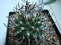 Turbinicarpus schmiedickeanus