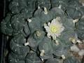 Lophophora williamsii v. caespitosa