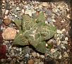 Ariocarpus fissuratus -a