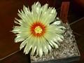 Astrophytum capricorne v. minor -SB1171 El Pilar Coah