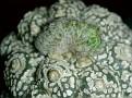 Astrophytum Super Kabuto 'KITSUKOW' cristata