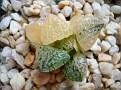 Haworthia picta variegata Japanese hybrid