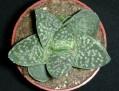 Aloe x Gasteria