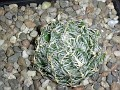 Haworthia aracnoidea v. scabrispina -GM438 Koup Station