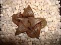 Haworthia mirabilis v  badia