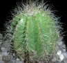 Notocactus magnificus