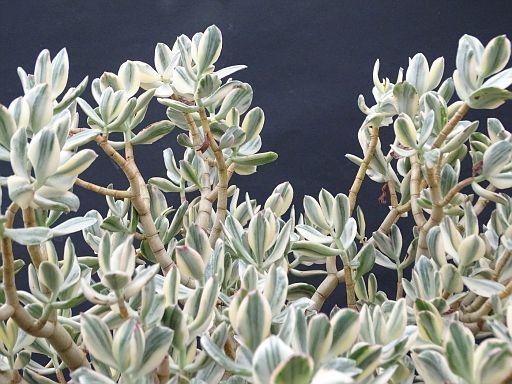 Crassula arborescens fa. variegata alba
