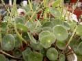 Peperomia monticola. ( caudex ) Mexico