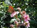 Kleiner Heufalter auf Brombeerblüten