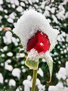 Schneeweisses Rosenrot