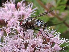 Diese Fliege liebt Blumen