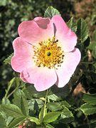 Lippische Rose