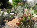 11 Knospen an einem Kaktus_11 buds on a cactus