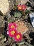 3. Kaktus blüht - 3. cactus flowers