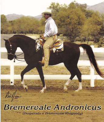 BREMERVALE ANDRONICUS #612206 chestnut stallion (Desperado x Bremervale Rhapsody, by Bremervale Excalibur) Bred by Bremervale Arabians, Imported to USA & owned by Al-Marah Arabians/ Bazy Tankersley.
