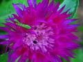 L'il Green Bug on a Big Purple Flower
