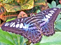 BlueClipperButterfly001