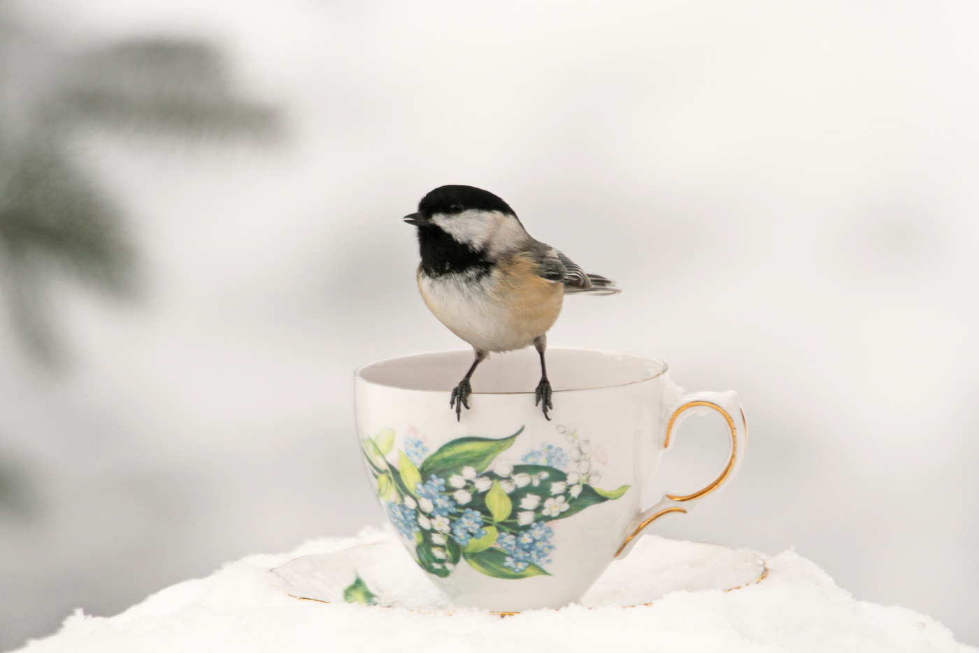 Chickadee at Teacup #23