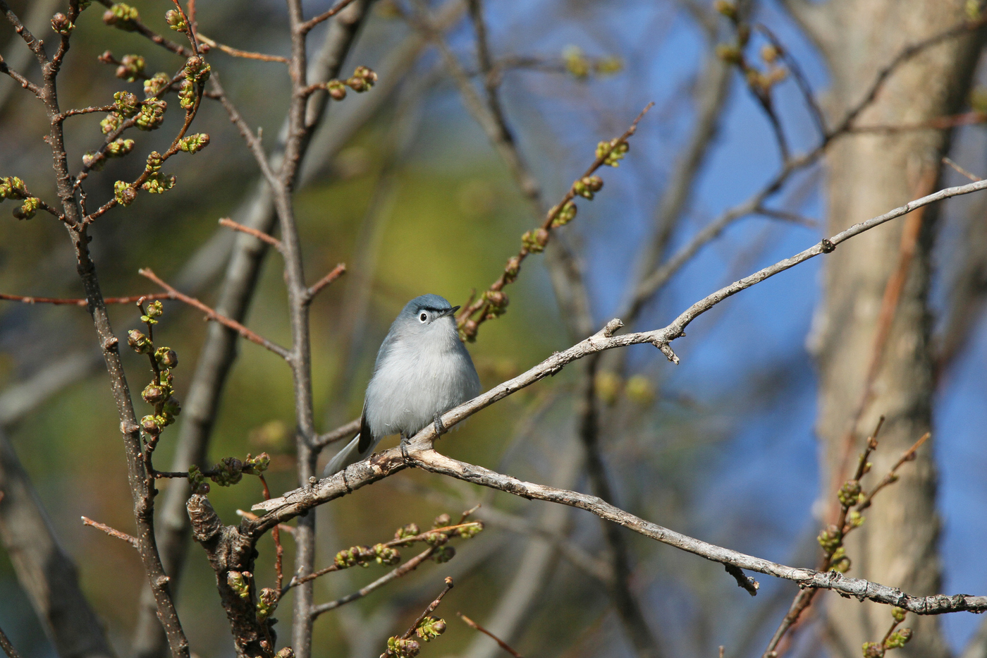 Gnatcatcher #4