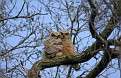Great Horned Owl Series #29