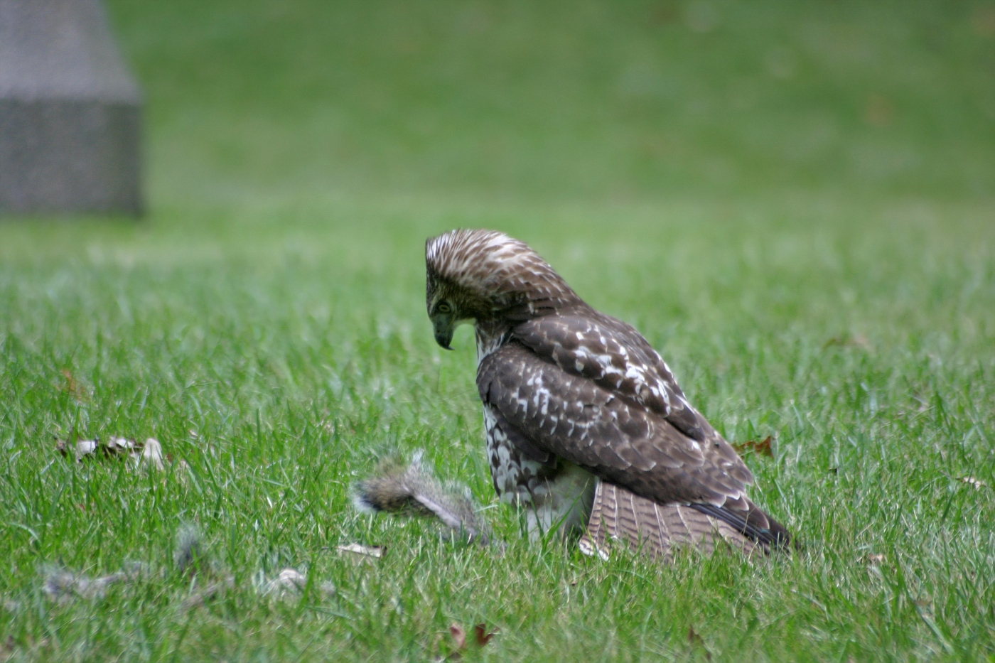 Immature Red Tailed Hawk 3