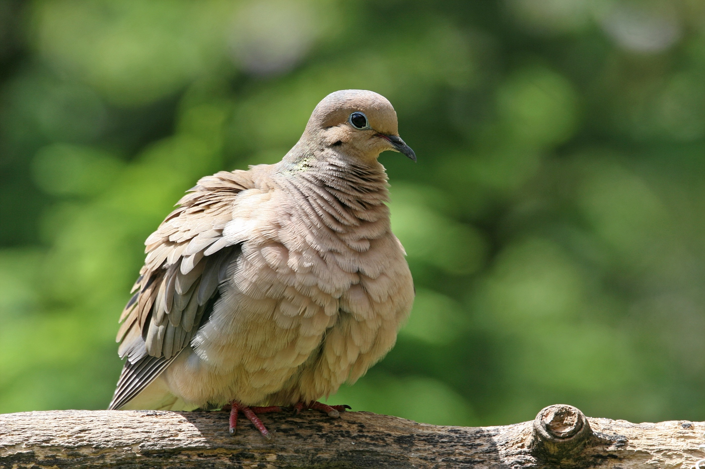 Mourning Dove #3