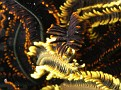 Closup of Feather Star