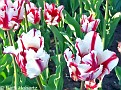 FlamingParrotTulips001