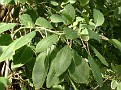 Phytolacca dioica (6)