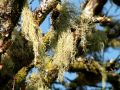 1843-Lichen-on-tree