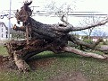 Hurricane Sandy Blew over a Huge Maple Tree in our yard like it wasn't even connected to the ground.