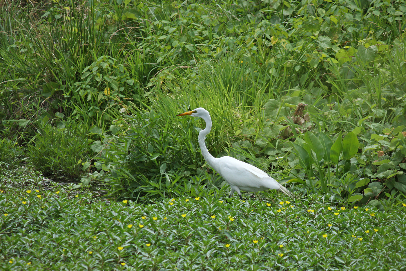 Summer Great Egret