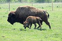 Bison and Calf #17