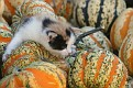 Calico Kitten on Gourds #3